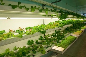 lettuce cress growing shipping container